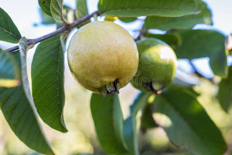 Dojrzała Guava owoc fotografia royalty free