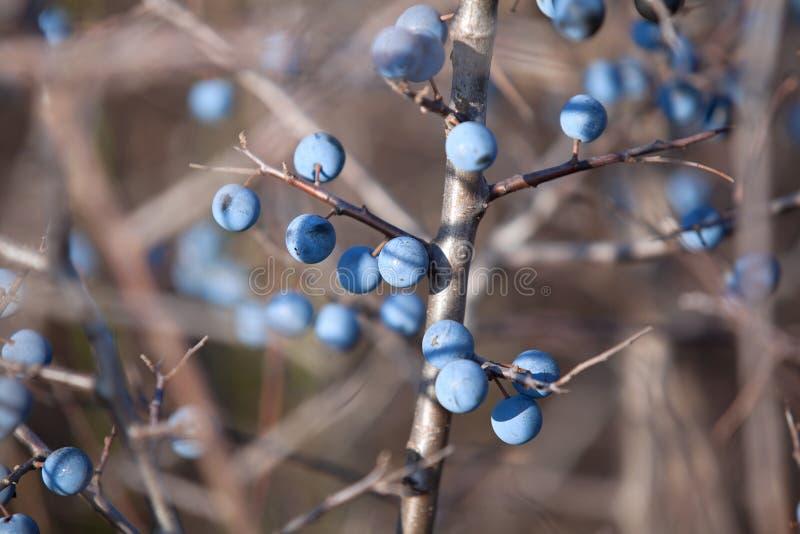 Dojrzała jagodowa tarnina obraz stock