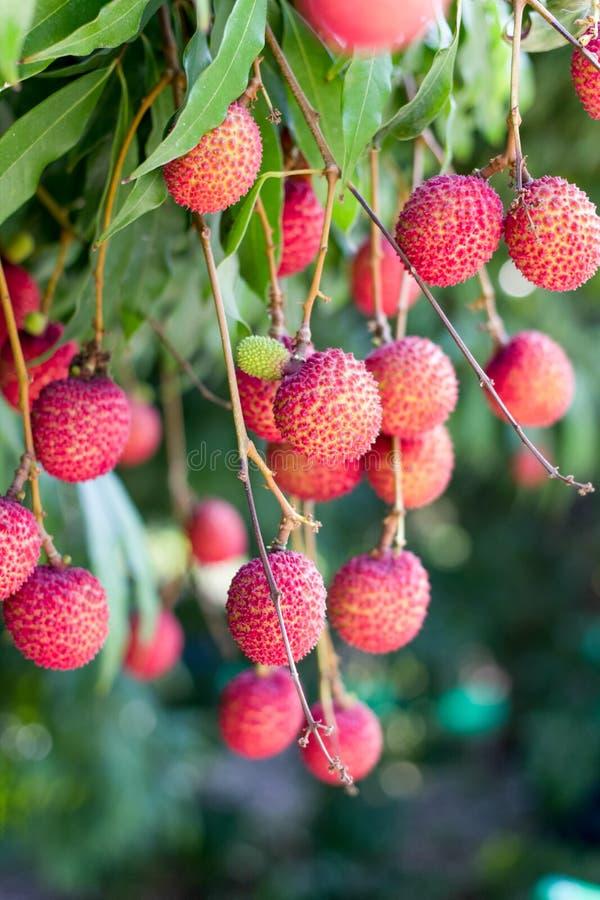Dojrzała lychee owoc na drzewie ja obraz stock
