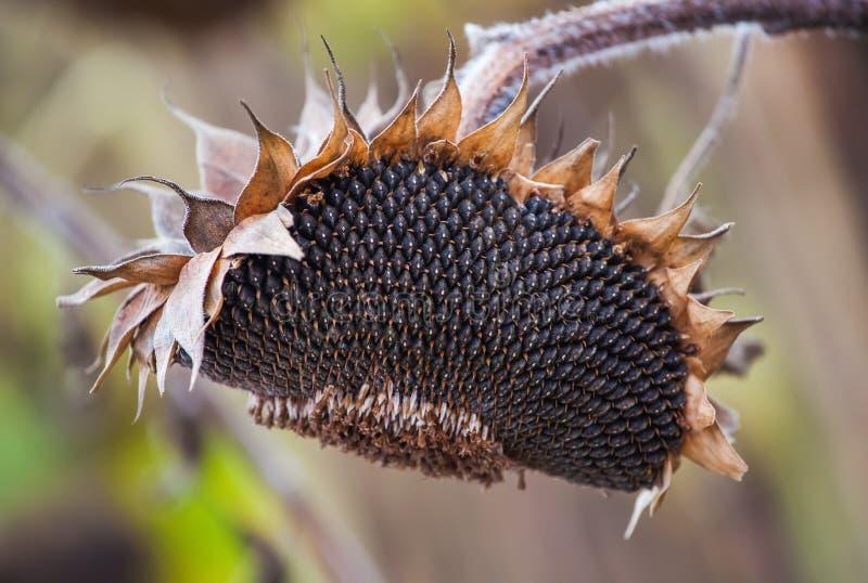 Dojrzała, pełna, sucha słonecznikowa roślina z ziarnami w głowie, kiełkuje na polu pod otwartym niebem zdjęcia stock
