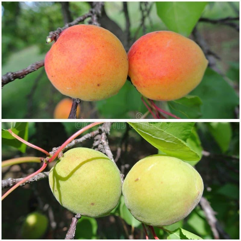 Dojrzała pomarańcze i niedojrzałe zielone morele na drzewie; owocowy kolaż fotografia royalty free