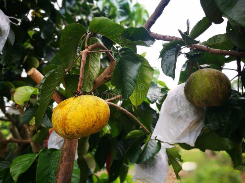 Dojrzała santol lub sentol owoc Świeża żółta tropikalna owoc z zielonym urlopem na drzewie obraz stock