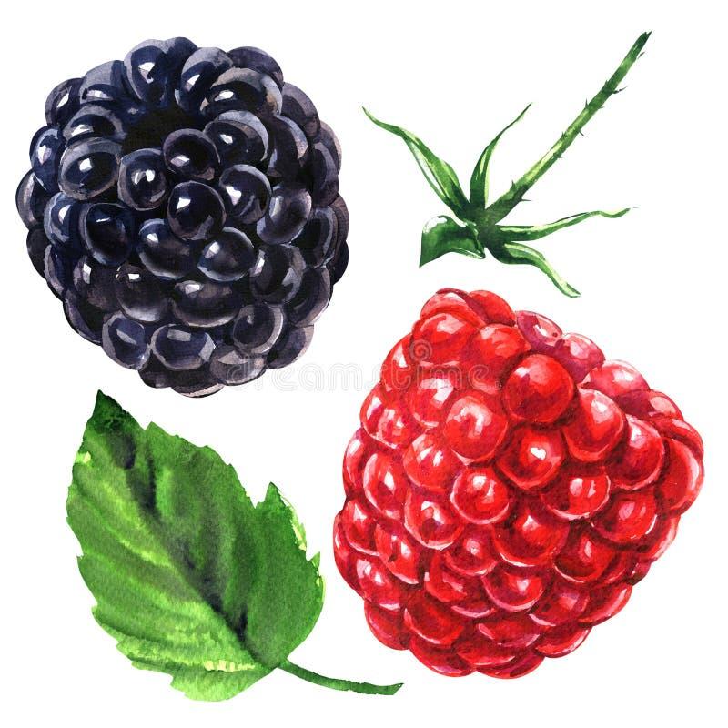 Dojrzała soczysta malinka i czernica z liściem i trzonem, świeże organicznie jagody odizolowywać, ręka rysująca akwarela ilustracja wektor