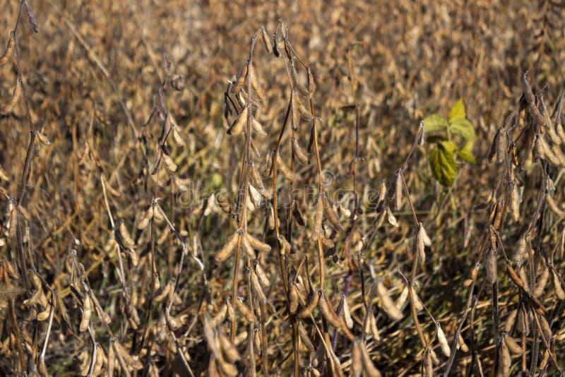 Dojrzała soja połuszczy obwieszenie żniwo w polu, wkrótce, jesień obraz royalty free