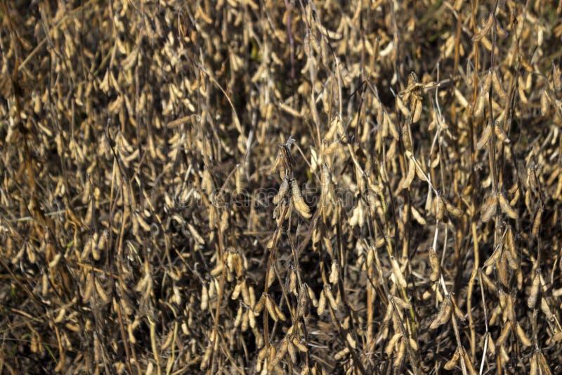 Dojrzała soja połuszczy obwieszenie żniwo w polu, wkrótce, jesień fotografia royalty free