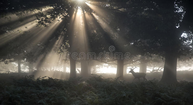 Dojrzała ugoru rogacza samiec w lesie na jesień spadku ranku landsca obraz stock