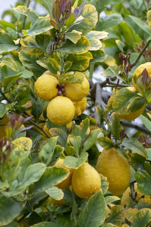 Dojrzałe żółte cytryny, tropikalne cytrus owoc wiesza na drzewie z wodą opuszczają w deszczu zdjęcie royalty free