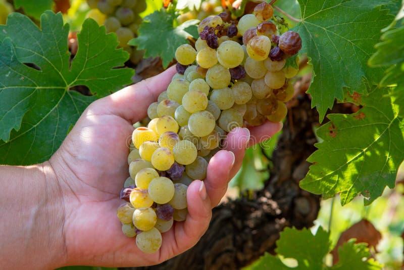 Dojrzałe białego wina winogron rośliny na winnicy w Francja, biały dojrzały muszkatołowego winogrona nowy żniwo fotografia stock