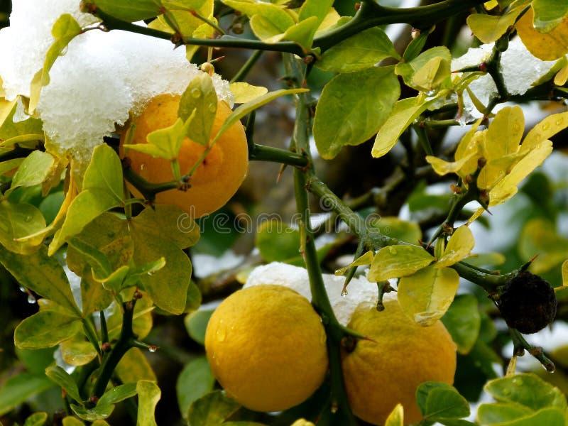 Dojrzałe cytryny na drzewie z śnieżną nakrętką fotografia stock