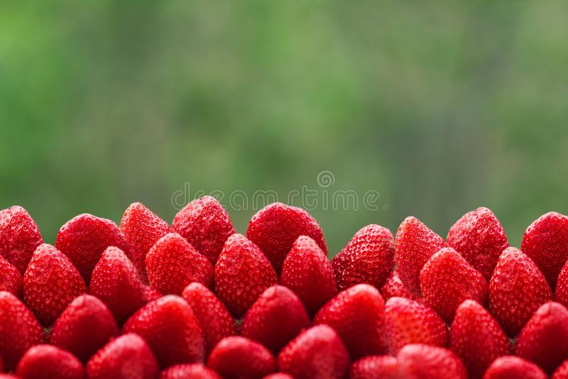 Dojrzałe czerwone truskawki w ogromnych liczbach, pole truskawki na tło oftrees zdjęcie stock