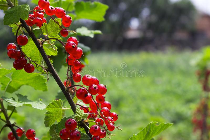 Dojrzałe czerwonego rodzynku jagody na Bush dorośnięciu w ogródzie fotografia stock