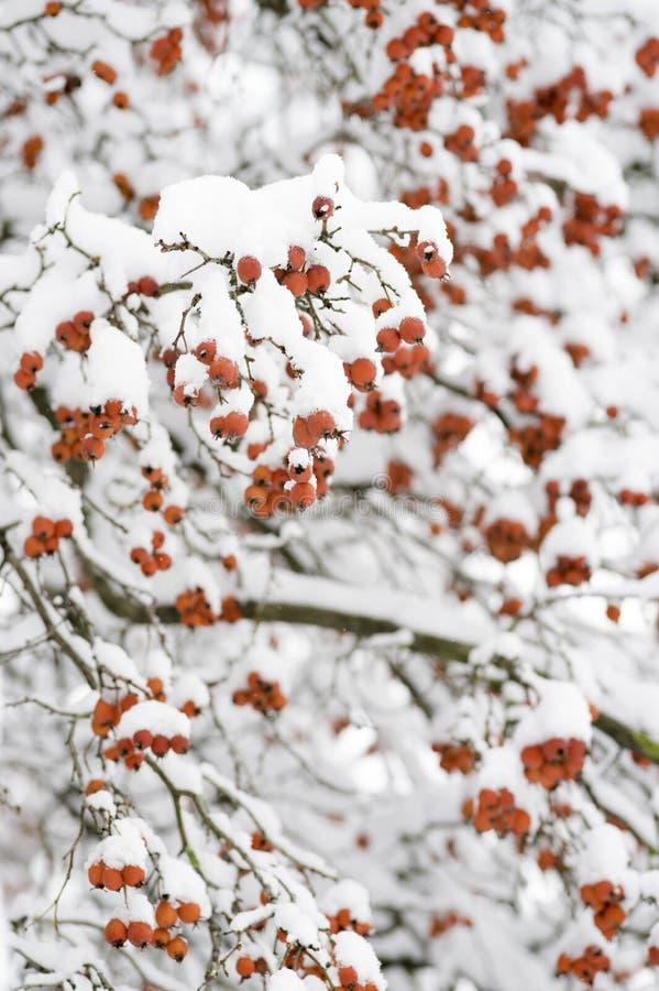 Dojrzałe głogowe jagody w zimie zdjęcia stock