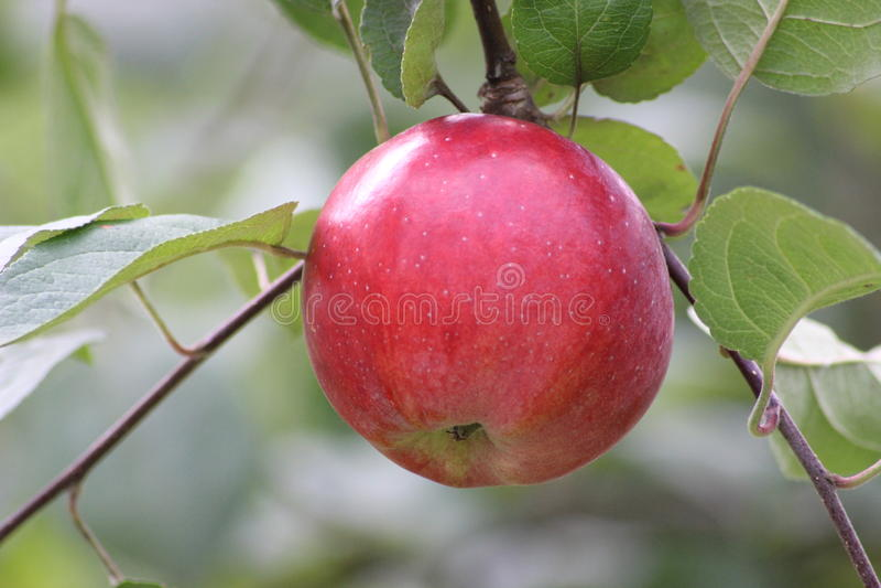 dojrzałe jabłko zdjęcie stock