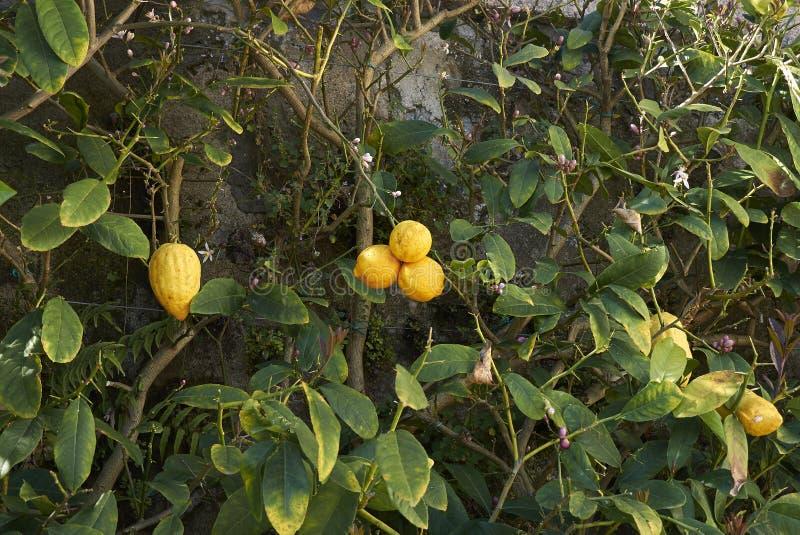 Dojrzałe owoc cytryny drzewo zdjęcie royalty free