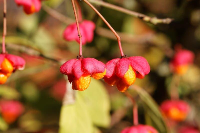 Dojrzałe owoc Europejski wrzeciona drzewo (Euonymus europaeus) obrazy stock