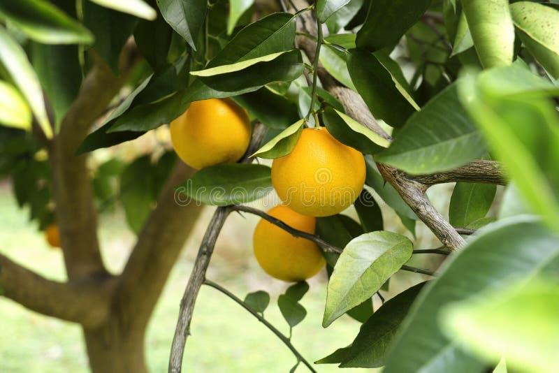 Dojrzałe pomarańcze na drzewie w Floryda obraz stock