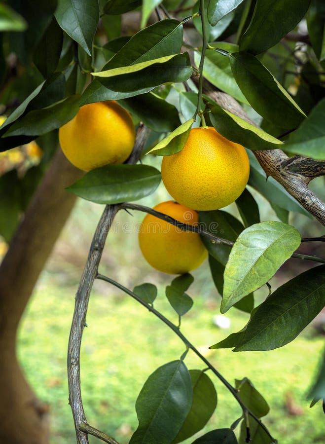 Dojrzałe pomarańcze na drzewie w Floryda obraz royalty free