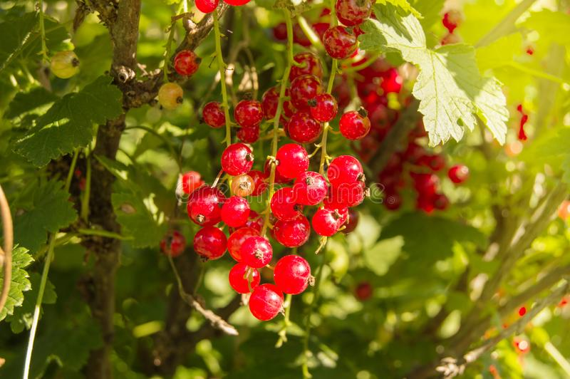 Dojrzałe soczyste czerwonego rodzynku jagody iluminują promieniami lata słońce, wiesza na gałąź wśród zielonego ulistnienia, kopi zdjęcia stock