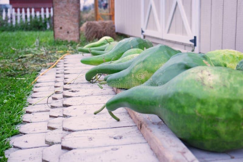Dojrzałe zielone gurdy obrazy stock