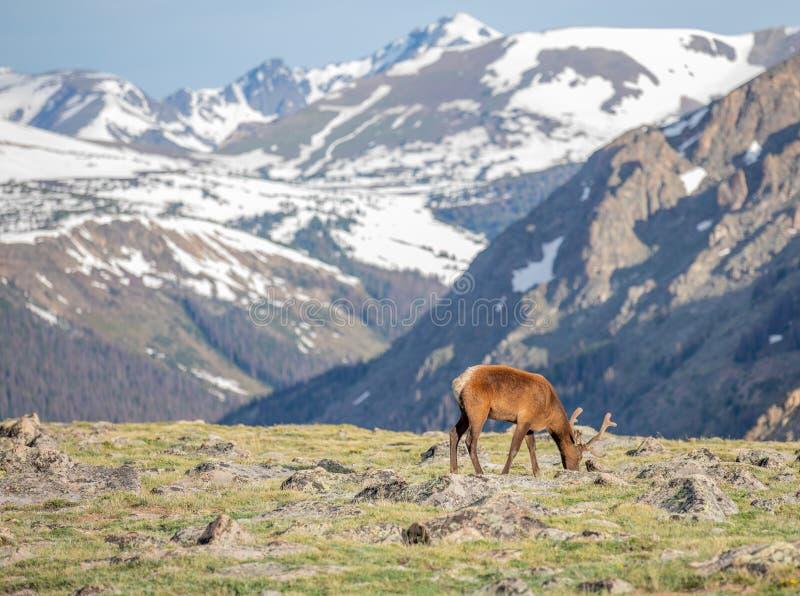 Dojrzałej samiec Jeleni łasowanie w łące na letnim dniu w Skalistej góry parku narodowym obraz stock