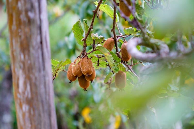 Dojrzały brown kiwi przygotowywający podnoszącym od drzewa, otaczającego kawalerem obrazy royalty free