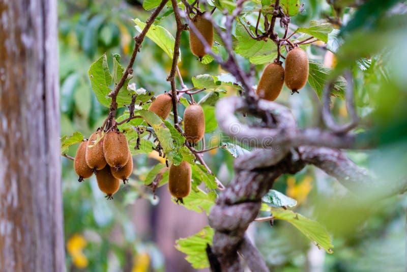 Dojrzały brown kiwi przygotowywający podnoszącym od drzewa, otaczającego kawalerem zdjęcia stock