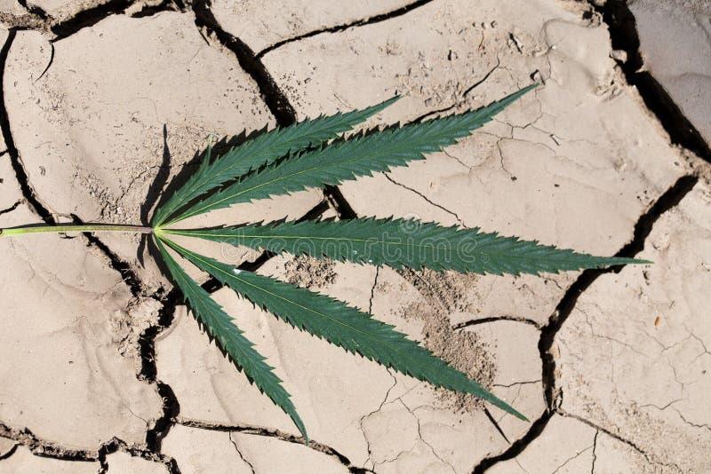 Dojrzały canabis liść na ziemi zdjęcie stock