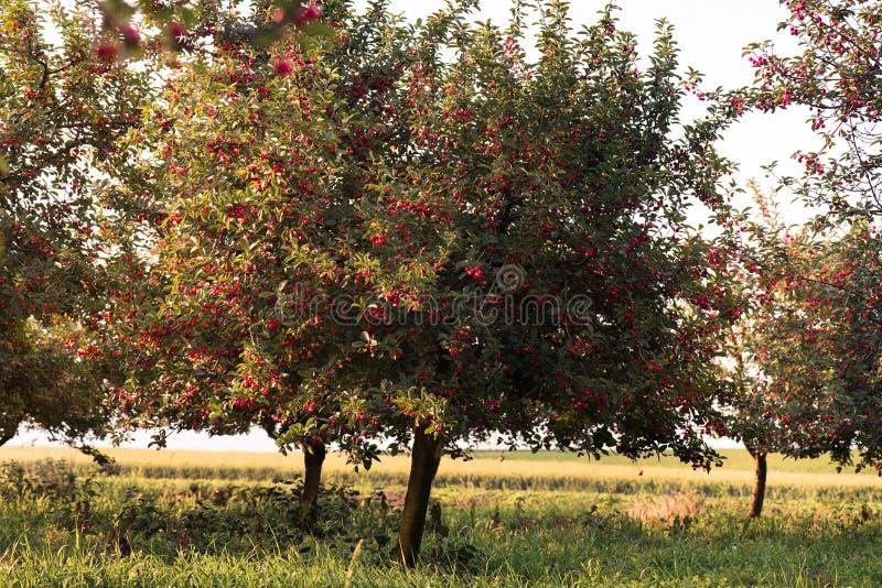 Dojrzały czereśniowego sadu pole zdjęcie stock
