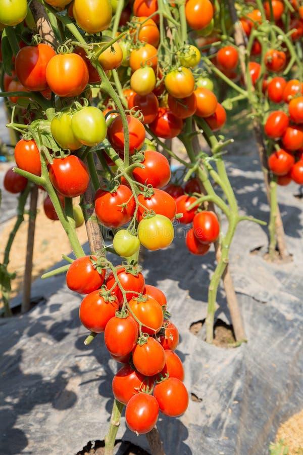 Dojrzały czerwony pomidorowy dorośnięcie na gałąź w polu fotografia royalty free