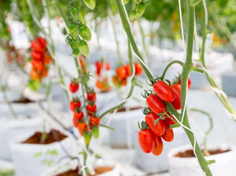 Dojrzały czerwony pomidorowy dorośnięcie na gałąź w szklarni zdjęcia stock