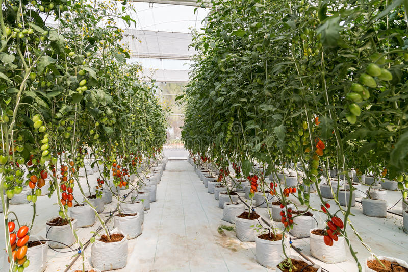 Dojrzały czerwony pomidorowy dorośnięcie w szklarni fotografia stock
