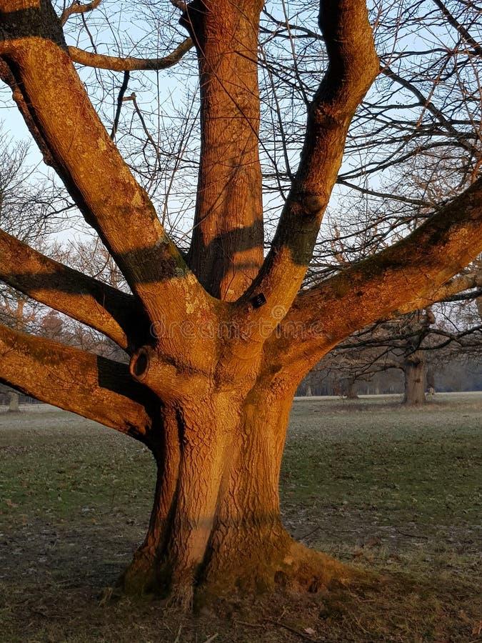 Dojrzały Dębowy drzewo w Angielskim parkland fotografia royalty free