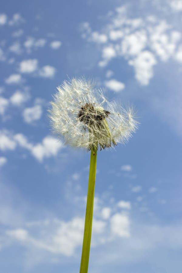 Dojrzały dandelion na chmurnym niebie Bielu lotniczy dandelion sia Taraxacum, stronniczo wysadzać w powietrze fotografia stock