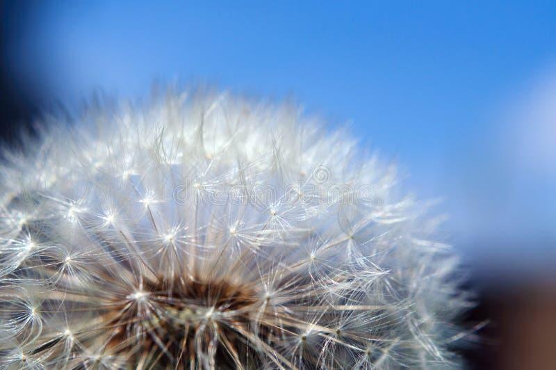 Dojrzały dandelion przeciw niebieskiemu niebu, płytka głębia pole obraz stock