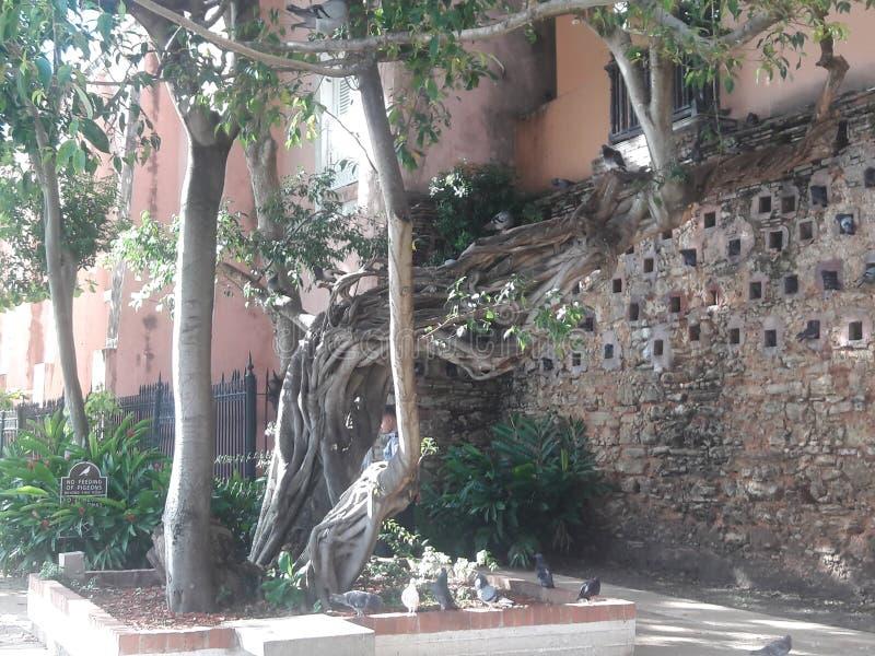Dojrzały drzewo fotografia royalty free