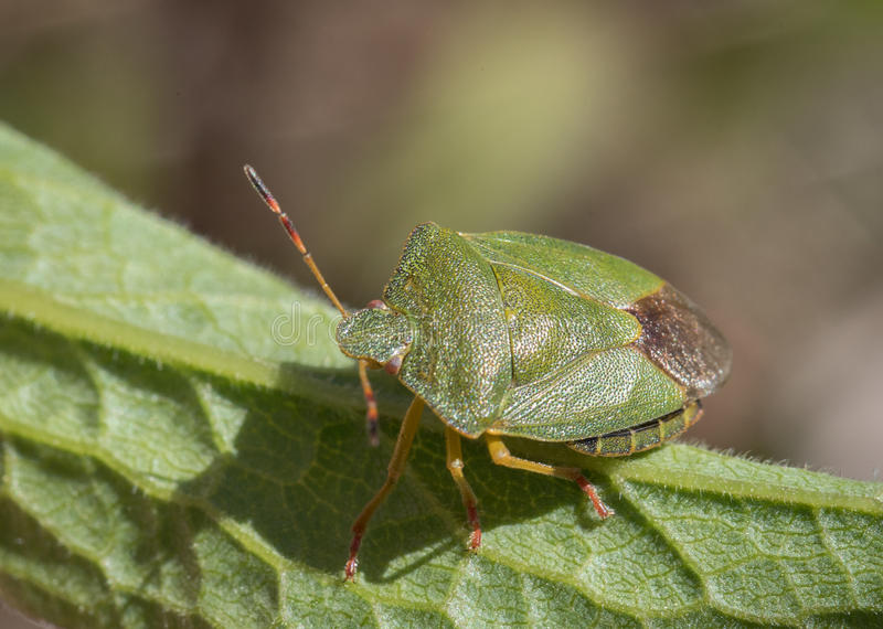 Dojrzały eurazjata zieleni osłony pluskwy Palomena prasina na zielonym liściu, wysokiego kąta widok zdjęcia royalty free