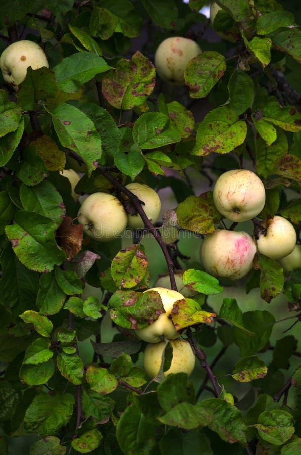 dojrzały jabłka kolor żółty zdjęcie royalty free