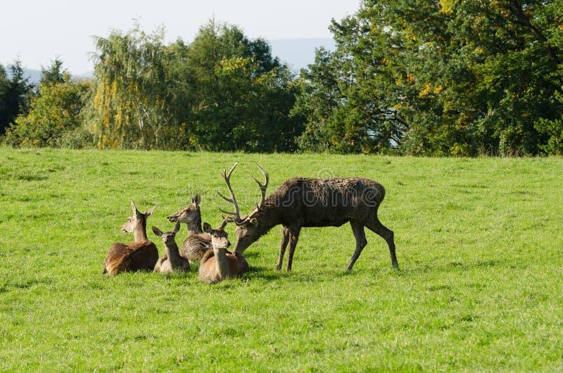 Dojrzały jelenia obwąchanie przy królicą Czerwonego rogacza grupa zdjęcie royalty free