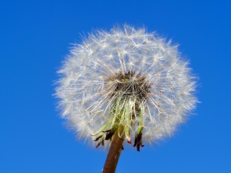 Dojrza?y kruchy dandelion z niebieskim niebem obraz royalty free