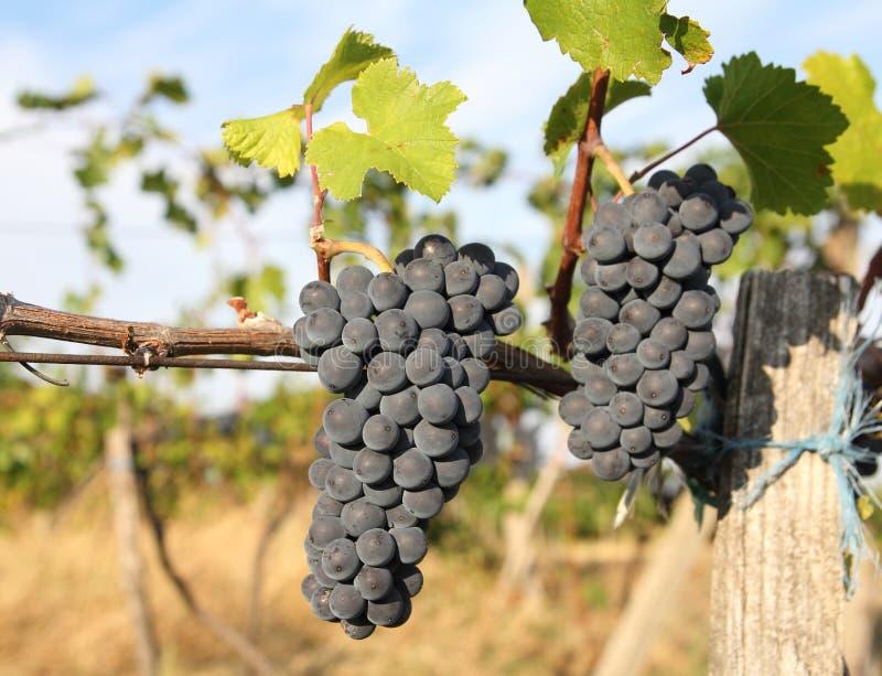 Dojrzały narastający winogrona zbliżenie zdjęcia stock