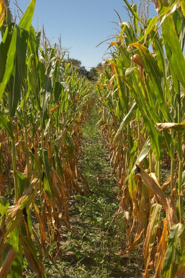 dojrzały, pole kukurydzy fotografia stock