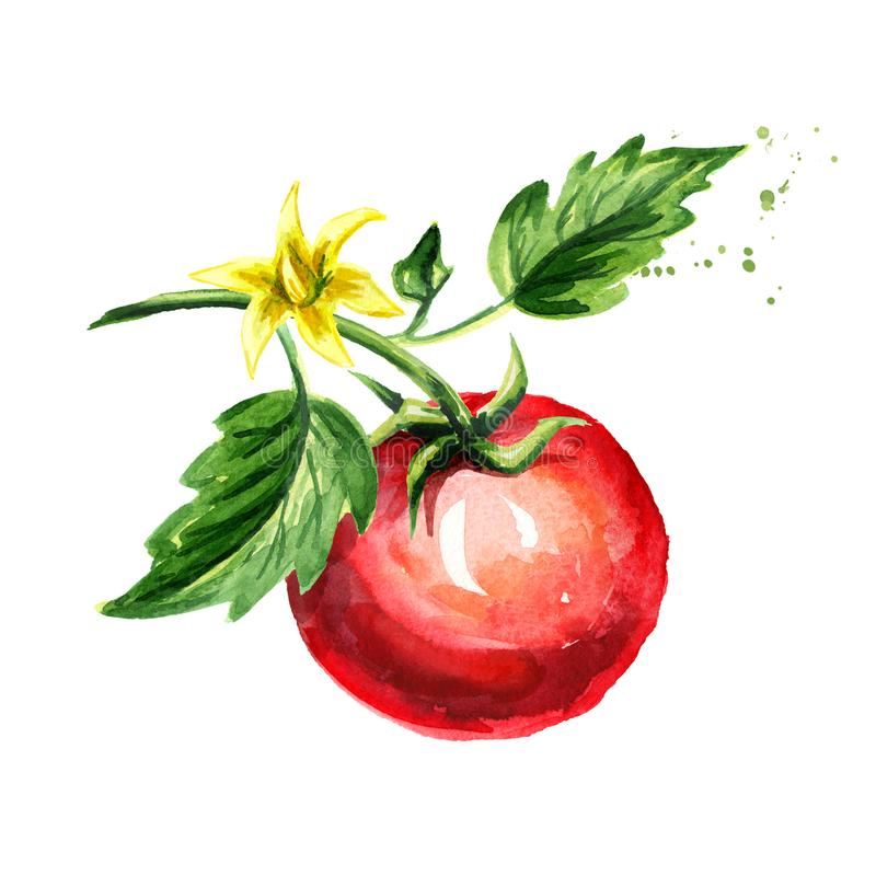 Dojrzały pomidor na gałąź z liśćmi i kwiatem Akwareli ręka rysująca ilustracja, odizolowywająca na białym tle ilustracja wektor