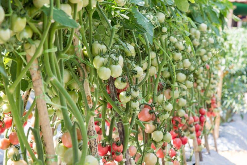 Dojrzały pomidorowy przygotowywający żniwo w polu fotografia royalty free