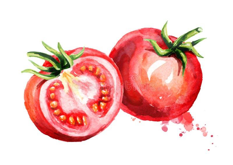 Dojrzały pomidoru skład Akwareli ręka rysująca ilustracja, odizolowywająca na białym tle ilustracji