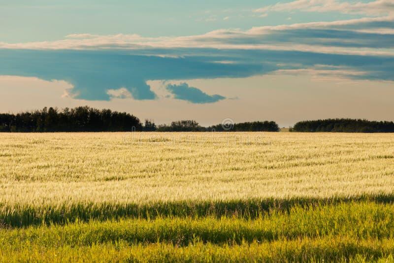 Dojrzały pszenicznego pola odległy las w wieczór słońcu obraz royalty free