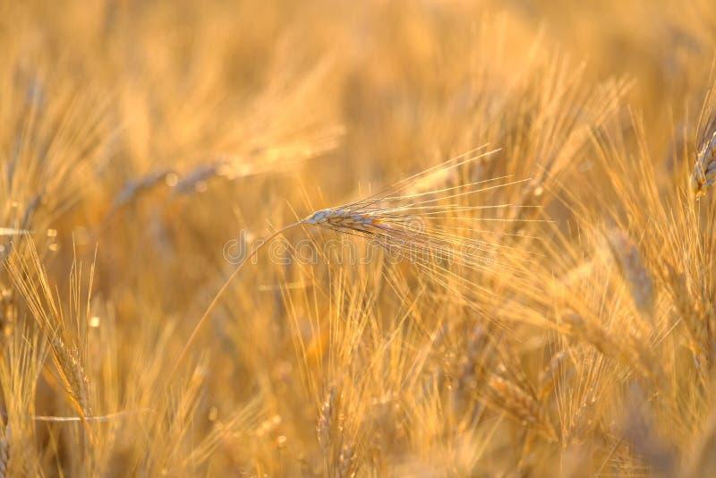 Dojrzały pszeniczny kiwanie w wiatrze fotografia royalty free