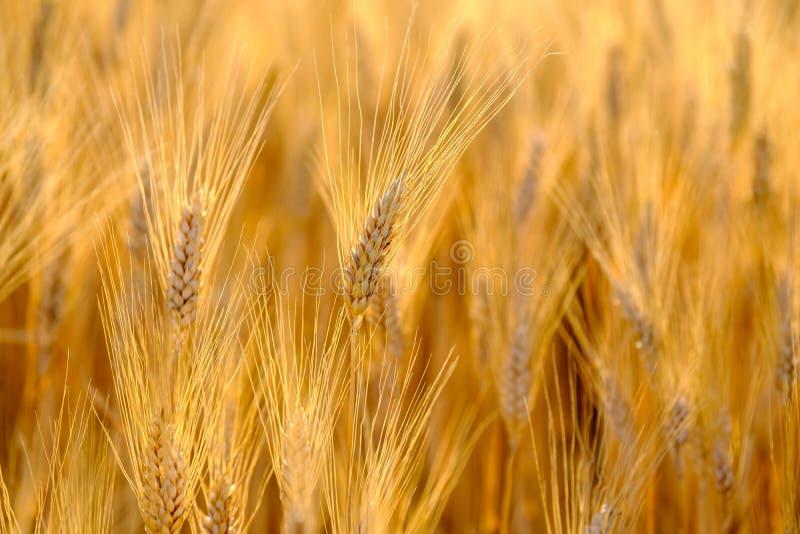Dojrzały pszeniczny kiwanie w wiatrze zdjęcie royalty free