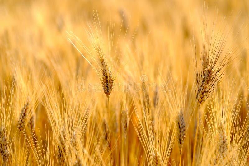 Dojrzały pszeniczny kiwanie w wiatrze obrazy royalty free