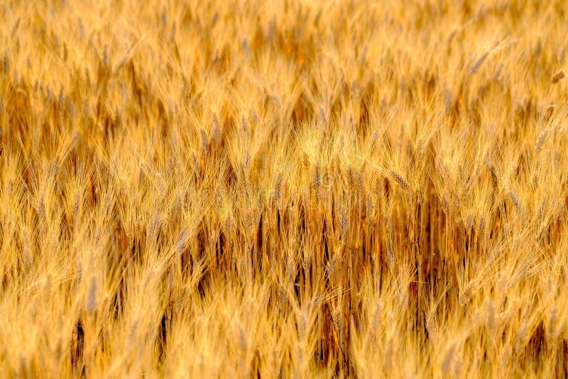 Dojrzały pszeniczny kiwanie w wiatrze zdjęcia stock