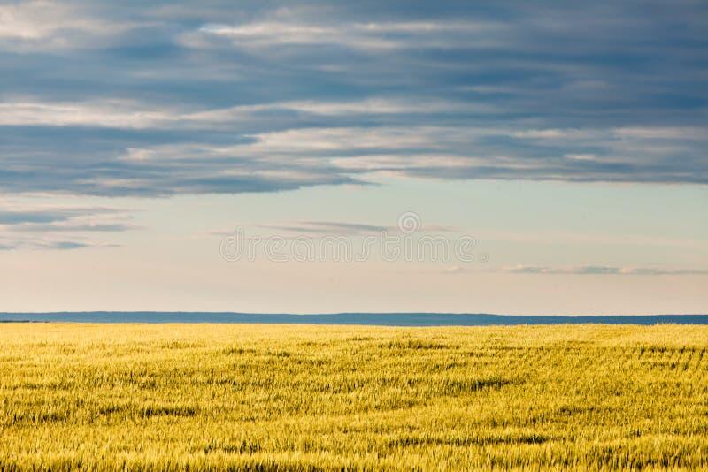 Dojrzały pszeniczny pole w wieczór słońcu pod dramatycznym niebem fotografia royalty free